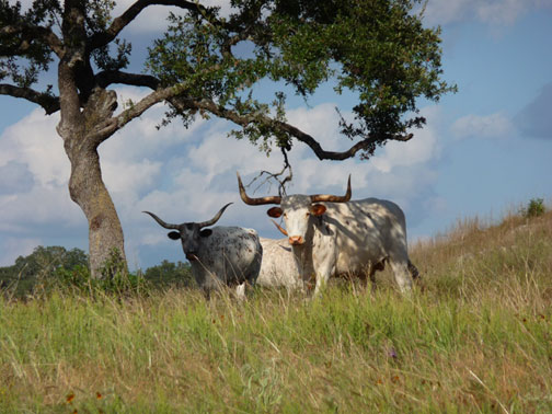 longhorns texas hill country