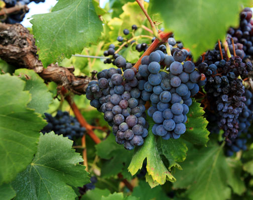 purple-grapes-vine