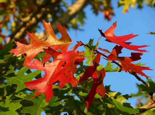 spanish oak red leaves texas hill country