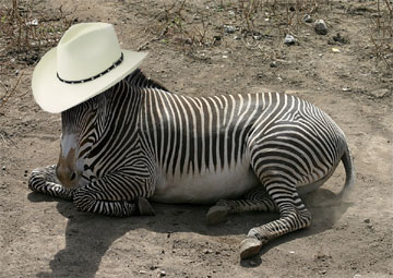 zebra texas hat