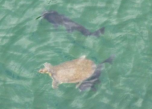 turtle catfish Laity Lodge